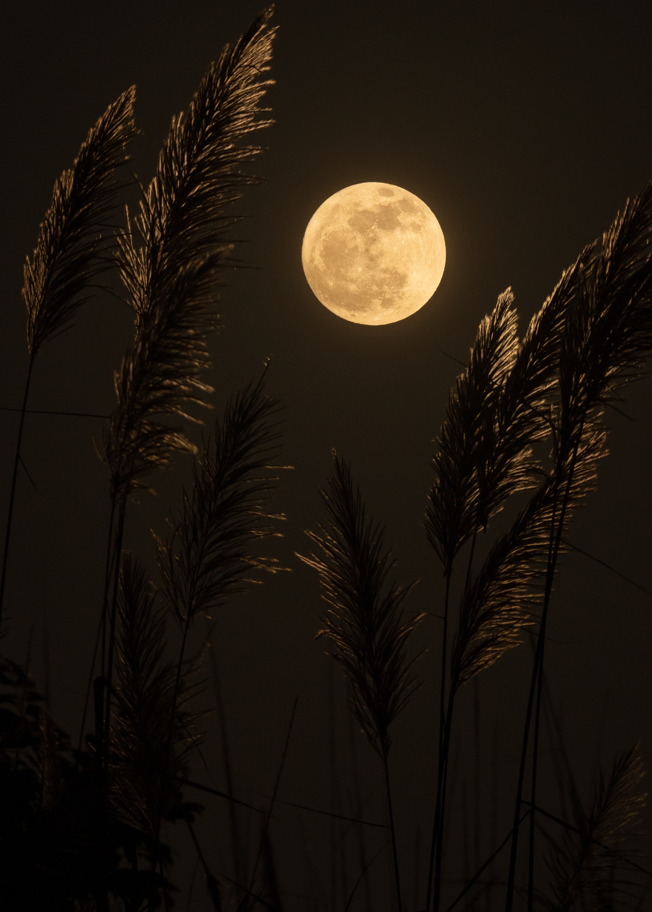 glowing full moon behind wheat grass